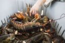 Virus Makes Lobsters So Cheap That Sellers Face a Fatal Blow